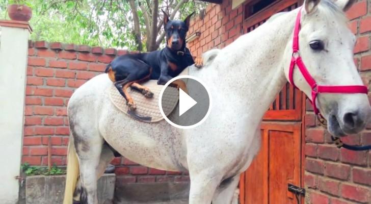 cao sussurra cavalos