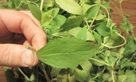estevia-stevia